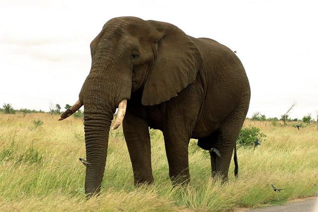 African éléphant