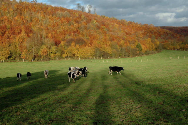 Ah ! Les vaches