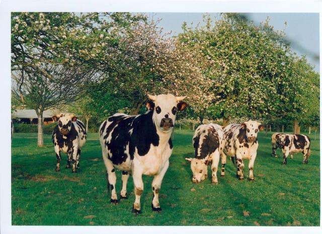 Ah les vaches
