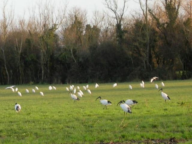 Aigrettes et ibis