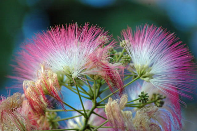 Albizia en fleurs