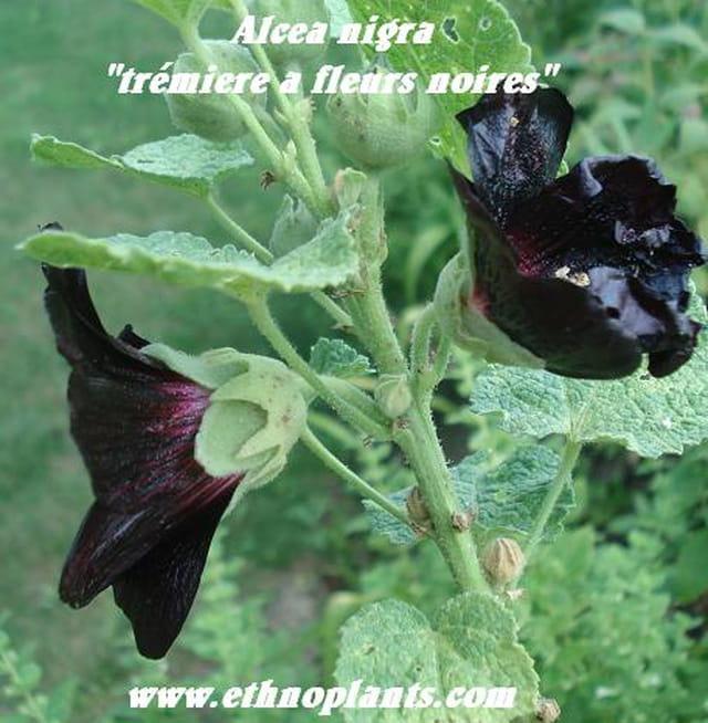 alcea rosea nigra fleurs atypiques par ethno ethnoplants. Black Bedroom Furniture Sets. Home Design Ideas