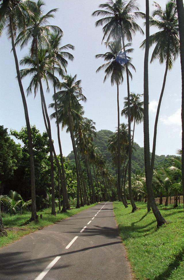 Allée de cocotiers