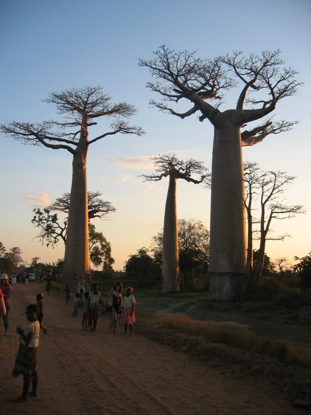 Allee des baobabs
