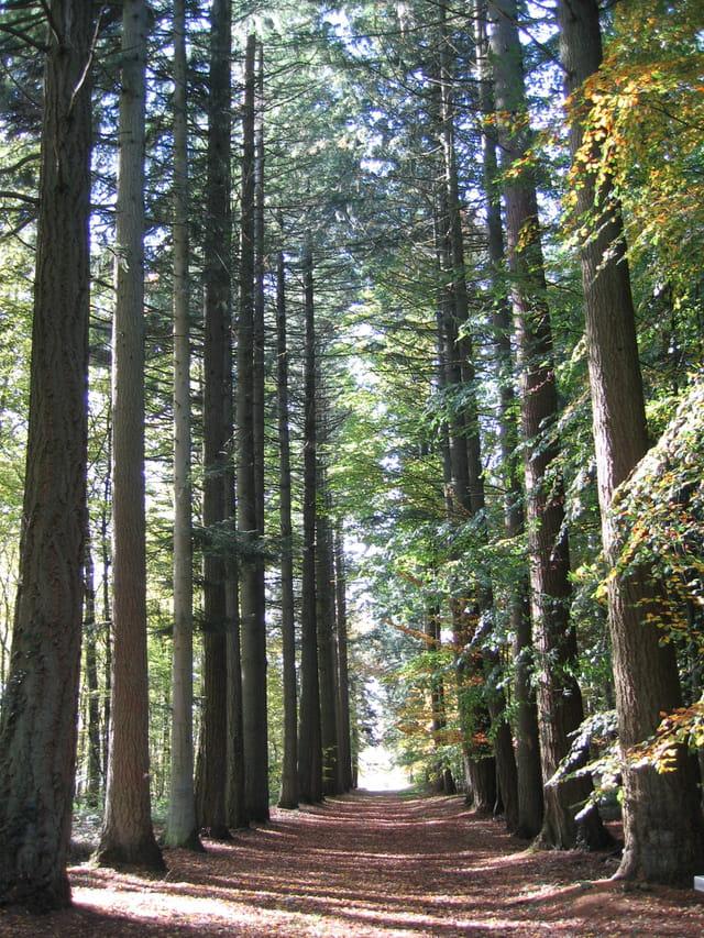 Allée pins Douglas