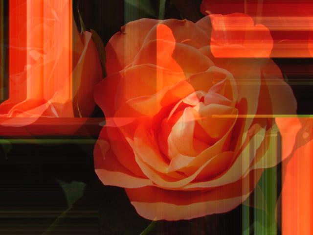 Allons voir si la rose ....