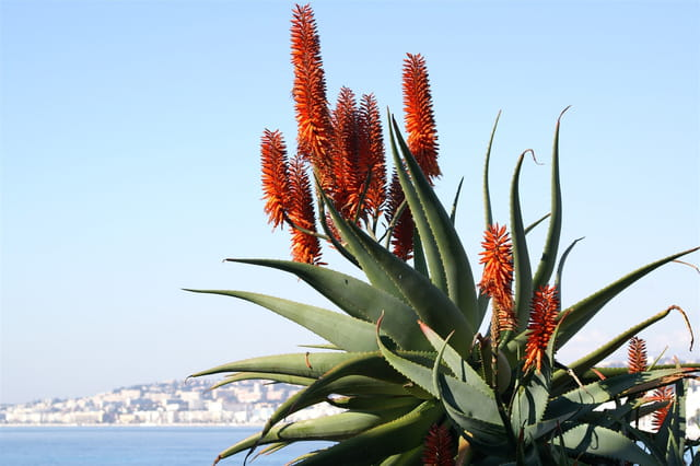 Aloe preciosa