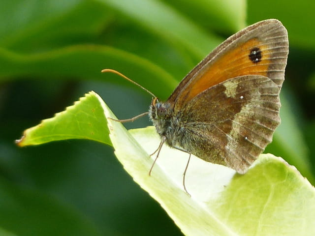 Amaryllis de profil