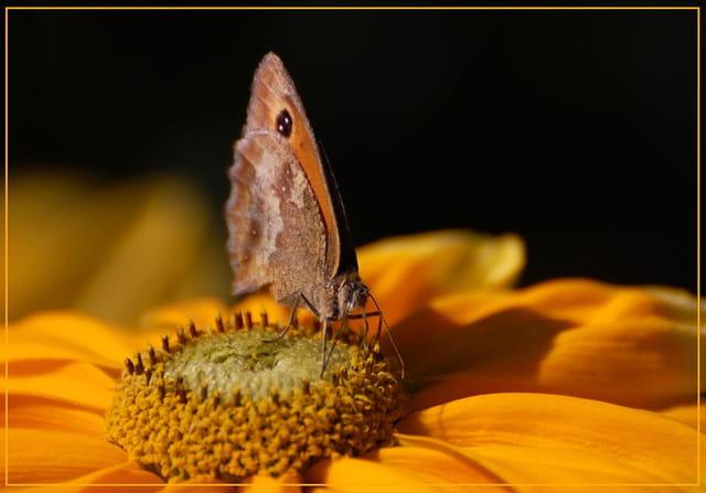 Amaryllis(papillon)