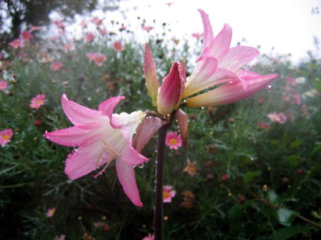 Amaryllis sous la pluie