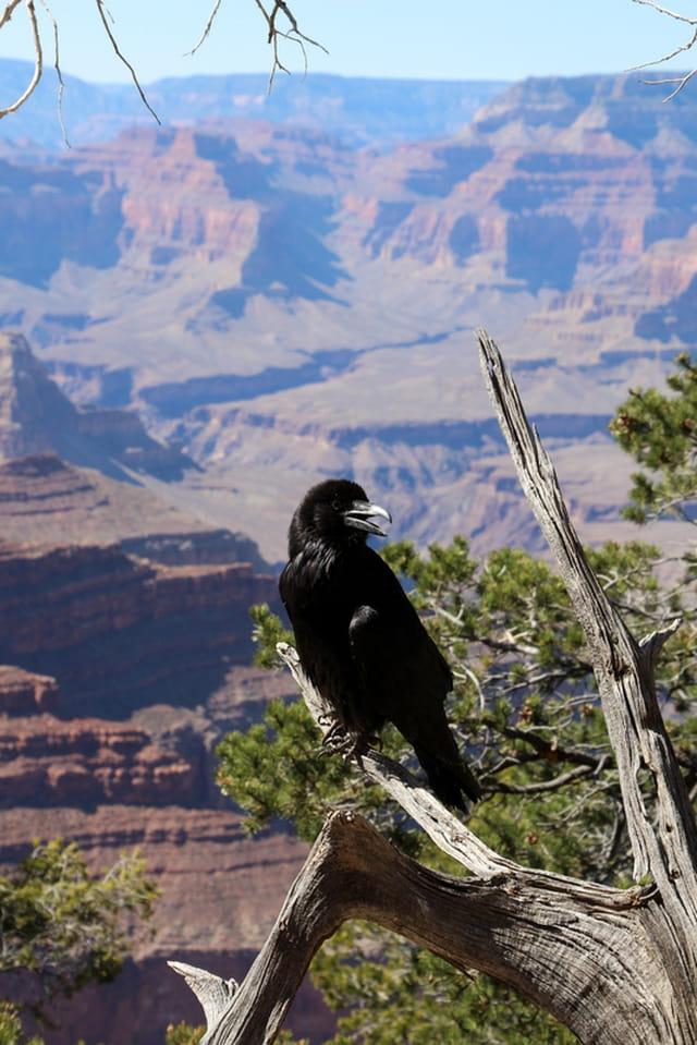 American Corbeau !