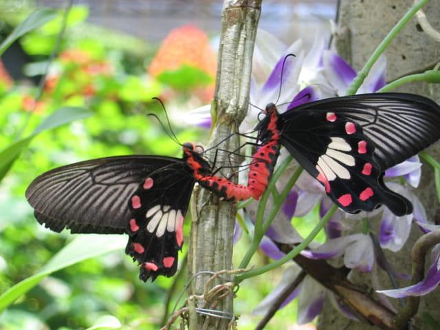 Amour de papillons