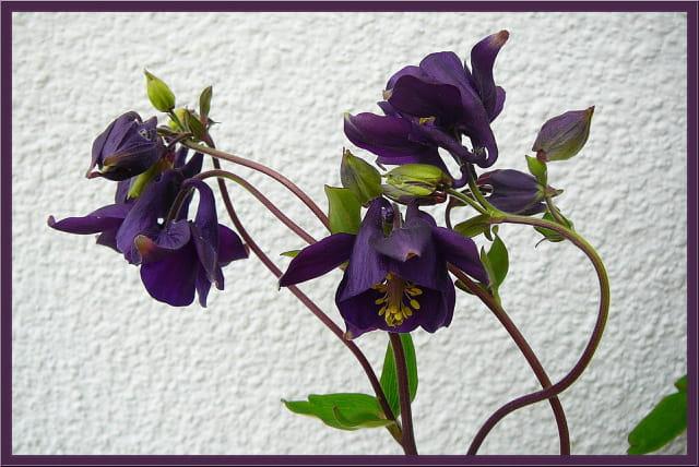 Ancolies violettes