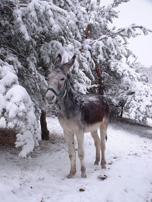 Ane dans la neige