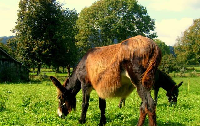 Ane Limousin