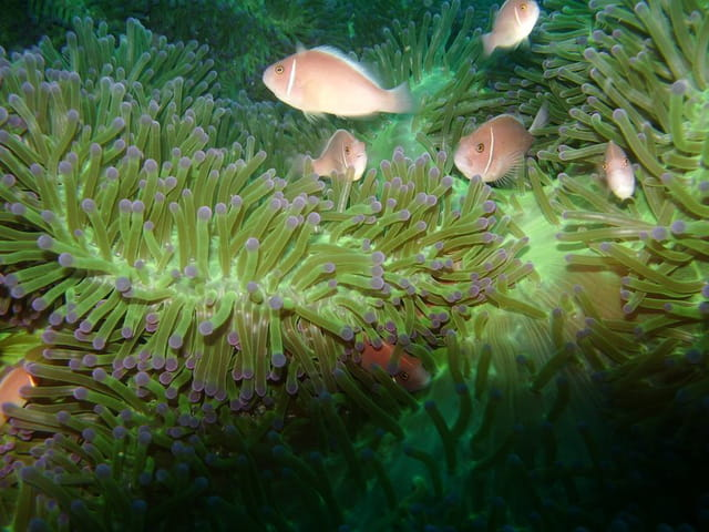 Anémone de mer