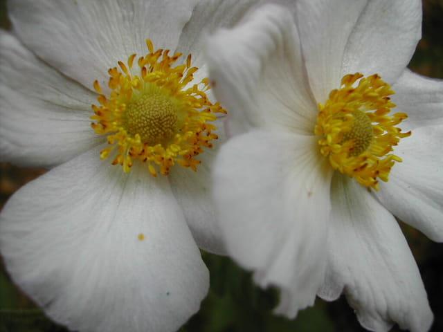 Anémone japonica
