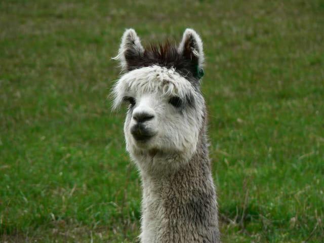 Animal des Andes