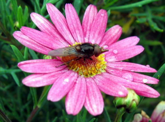 Anthémis et son insecte