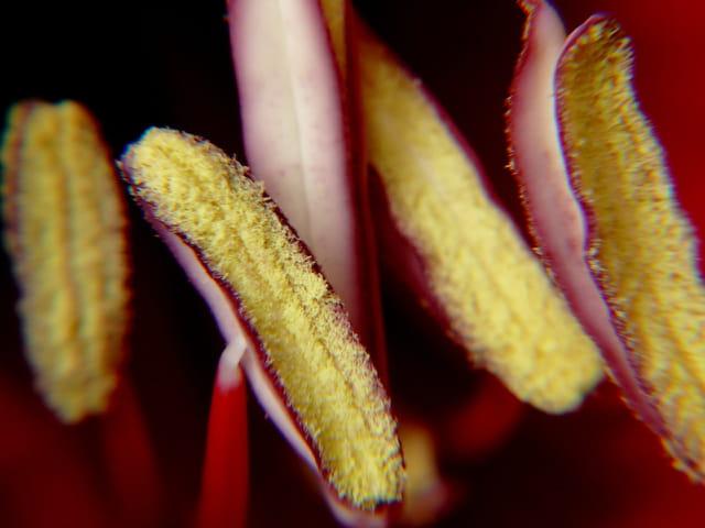 Anthères d'amaryllis