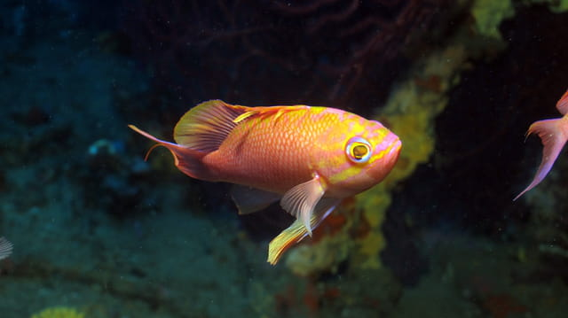Anthias mâle