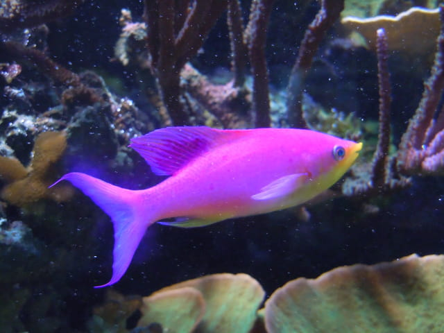 Anthias Reine