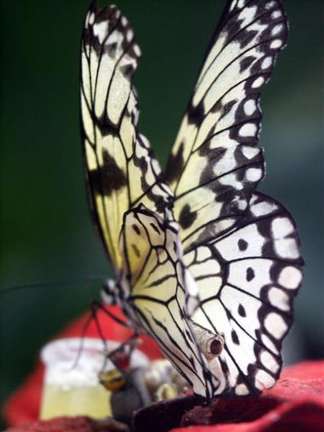 Après la chenille c'est le papillon