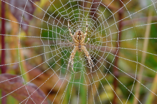 Araignée matinale