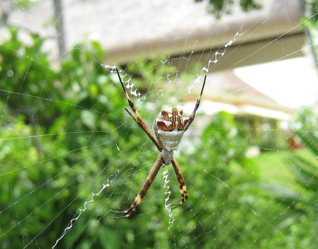 Araignée mexique