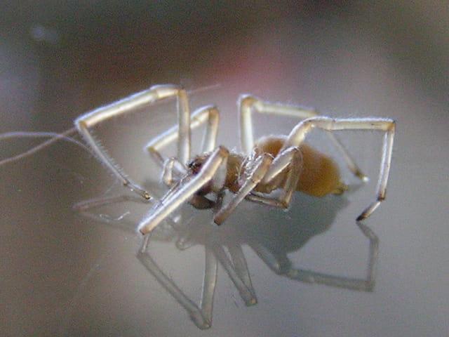Araignée translucide