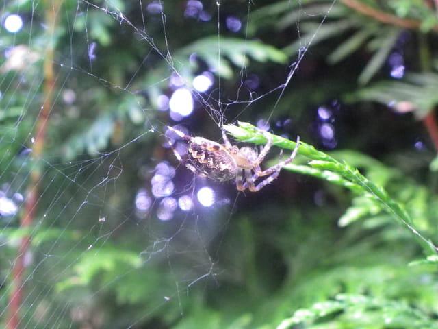 Araignées et leurs toiles