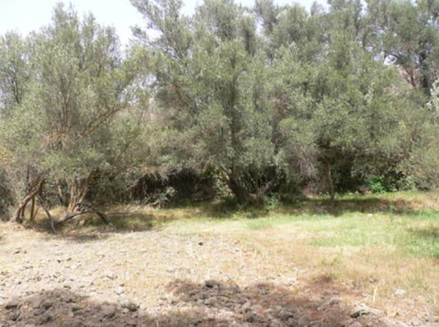 Arbre d'olivier