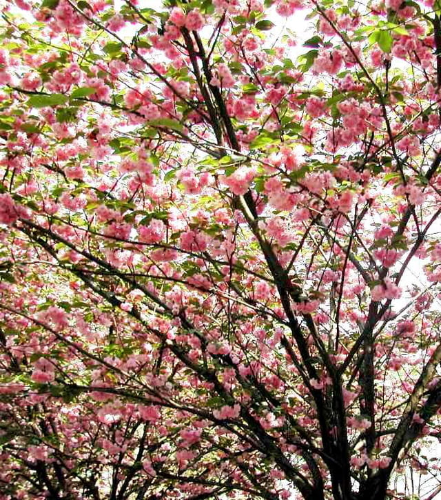 Arbre fleurs c risier du japon 1 par rita vogels sur l 39 internaute - Arbre du japon ...
