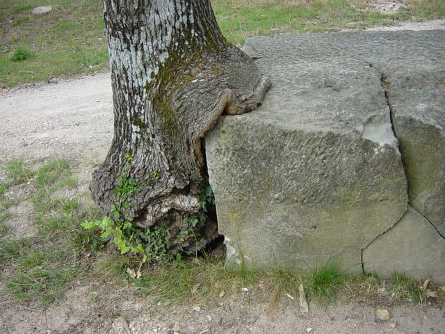 Arbre mangeur de rocher