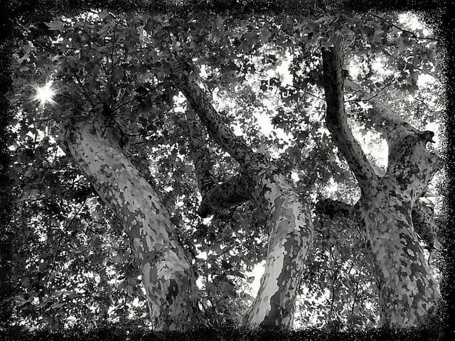 Arbres noir& blanc