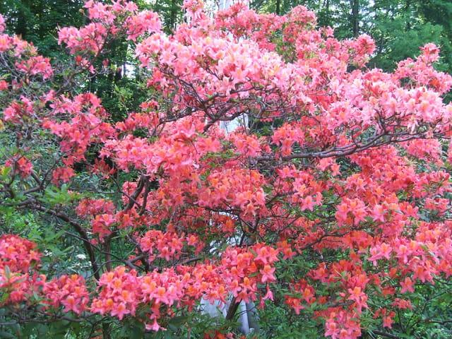 Arbuste à fleurs rouges