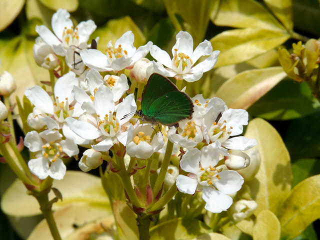 Argus vert ou thecla de la ronce