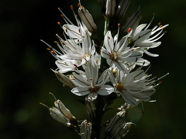 Asphodèle blanc (détail fleurs)