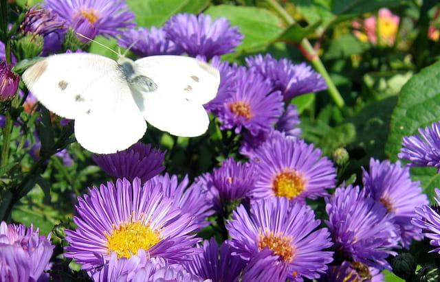 Aster et papillon