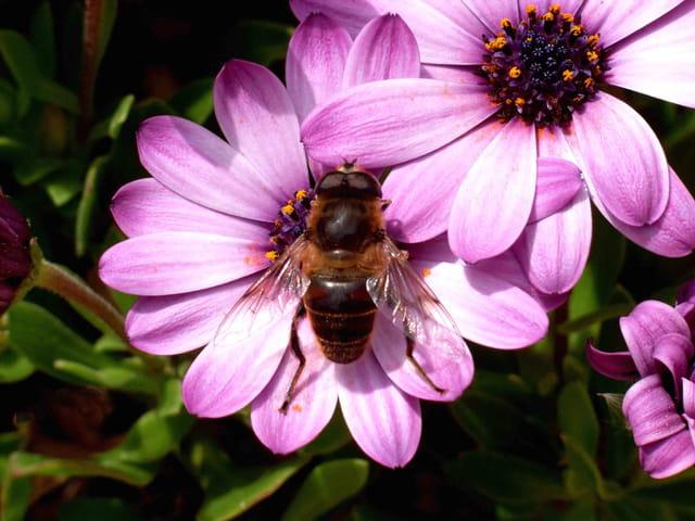 Asters abeille
