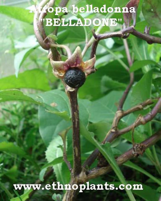 Atropa belladonna graines et plantes