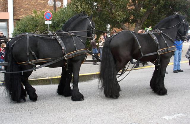 Attelage de chevaux Frissons