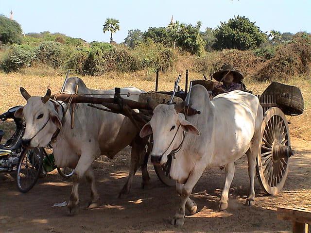 Attelage de zébus à Bagan