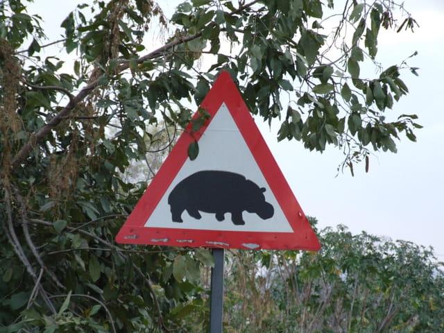 Attention, hippopotames !
