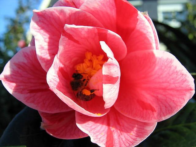 Au coeur de la fleur de camélia!