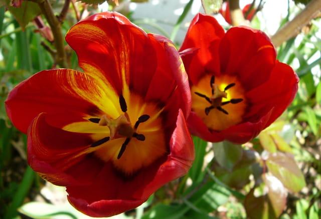 Au coeur des tulipes rouges