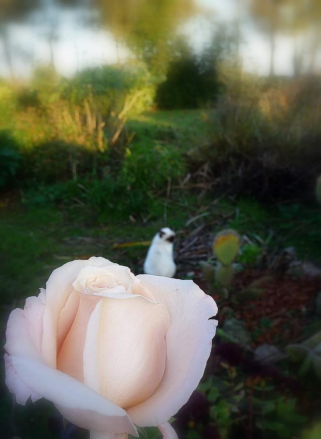 Au premier plan une rose...et vue du jardin sous l'oeil vigilant du chat