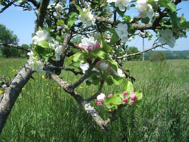 Au printemps, les pommiers en fleurs.