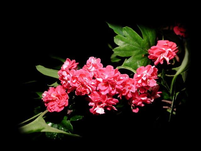 Aubépine rose