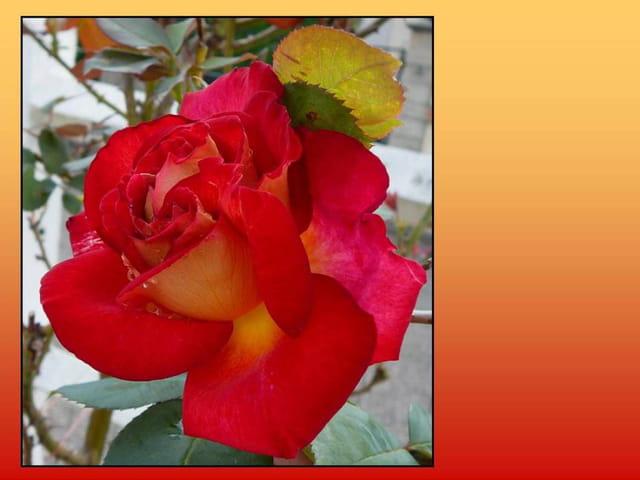 Autre présentation de la rose Bolchoï